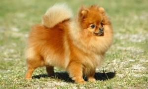 A pesar de que son tierno y adorable, Pomeranians requieren mucha atención. Junto con sus necesidades de entretenimiento
