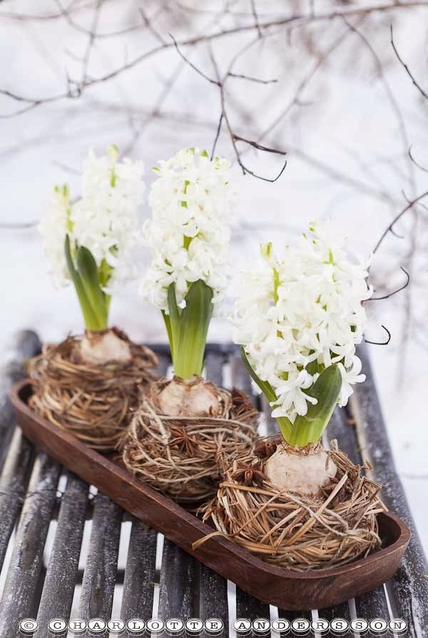 ma maison au naturel la fleur du mois la jacinthe. Black Bedroom Furniture Sets. Home Design Ideas