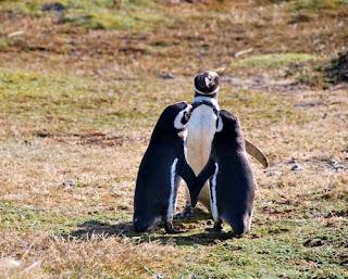 Penquin Wedding Seno Otway Tierra del Fuego Chile