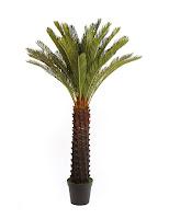 palmera cyca