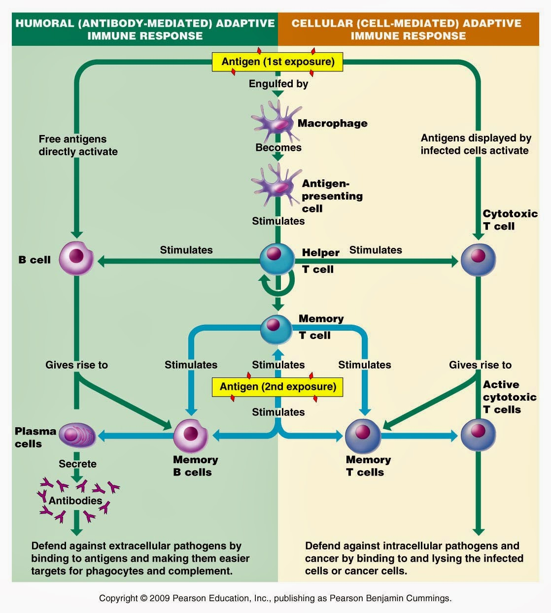 Linfei S Bio Blog Immune System Quiz
