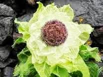 http://obat-herbal-produksi-rumah.blogspot.com/2015/01/obat-anti-kanker-dari-teratai-salju.html