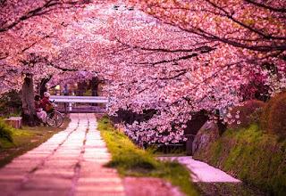 Gambar Bunga Sakura Cantik 1