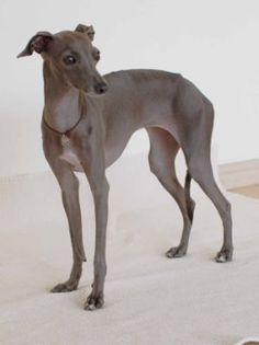 Everything About Your Italian Greyhound