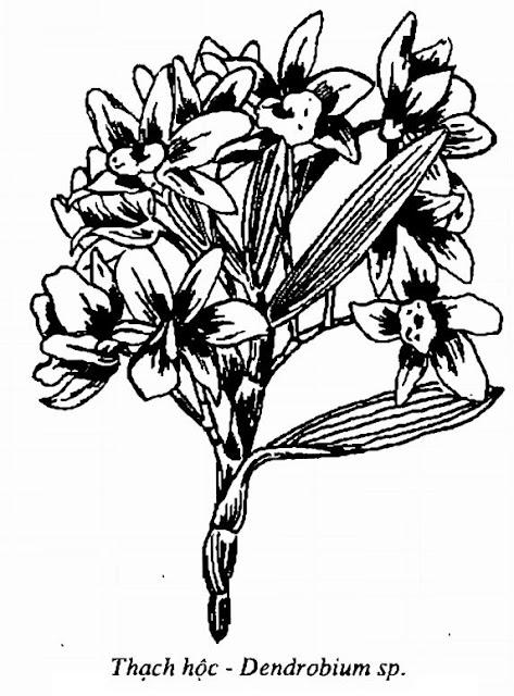 Hình vẽ Thạch Hộc - Dendrobium sp - Nguyên liệu làm thuốc Chữa Cảm Sốt