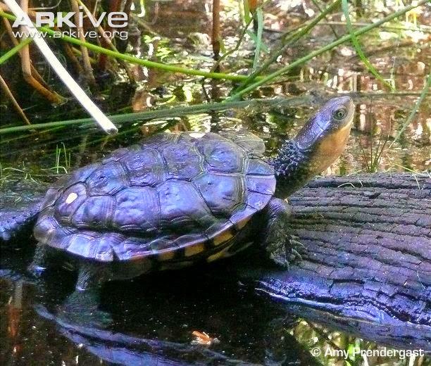 Western swamp turtle