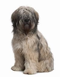 Anjing Ras Catalan Sheepdog