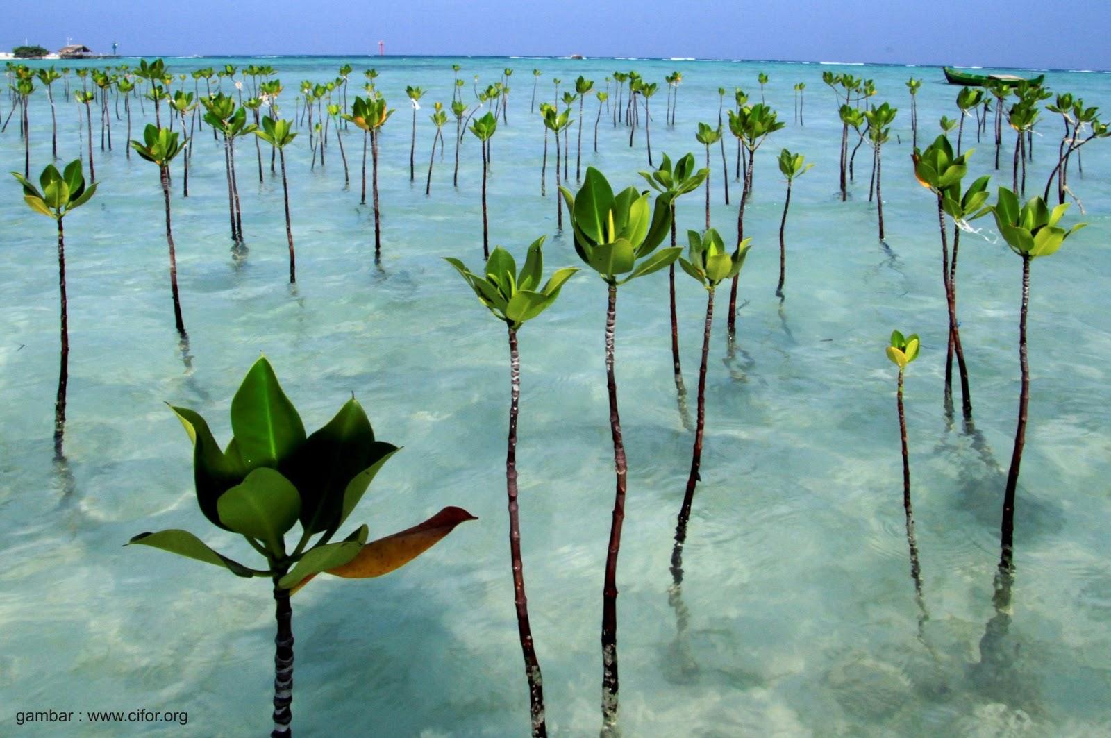 Jenis - Jenis Mangrove ~ AanBLOG