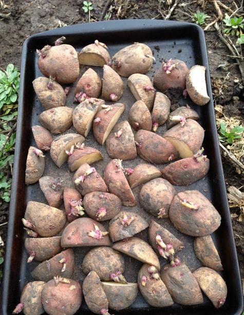 Cách trồng Khoai tây và kỹ thuật trồng Khoai tây