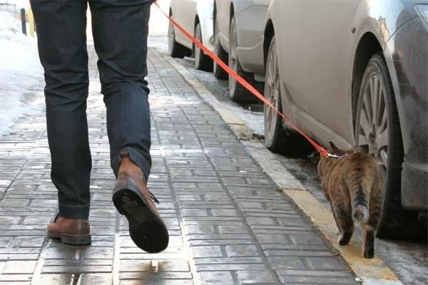Как выгуливать кошку на поводке