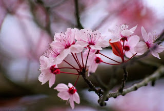 Gambar Bunga Sakura Cantik 2