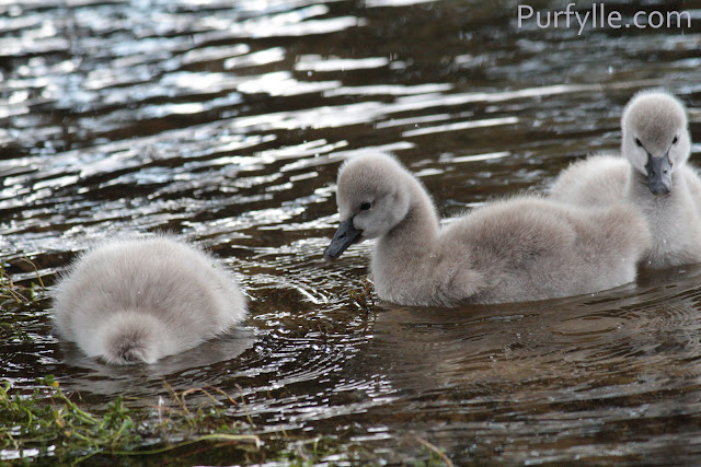 Black swan cygnet ducking it's head under water
