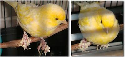Cara Jitu Mengatasi Jamuran Kaki Pada Burung Kenari