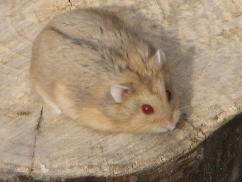 white dwarf hamster with red eyes - photo #10