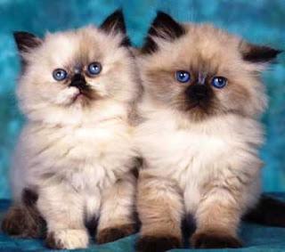 Daftar Terbaru Harga Kucing Himalaya