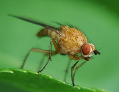 Вредитель малины Бриллиантовая стеблевая муха