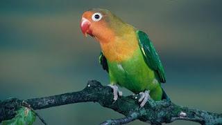 perbedaan lovebird jantan dan betina saat birahi,perbedaan lovebird jantan dan betina anakan,perbedaan lovebird pastel kuning dan lutino,perbedaan lovebird jantan dan betina om kicau,