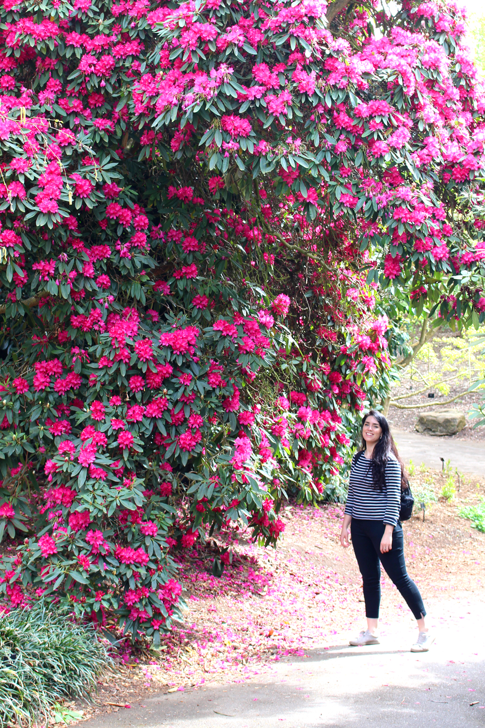 Huge Rhododendron at Kew Gardens in Spring - London lifestyle blog