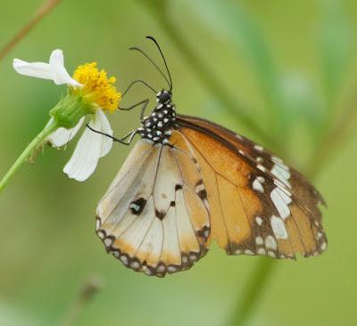 Plain Tiger (Danaus c chrysippus)