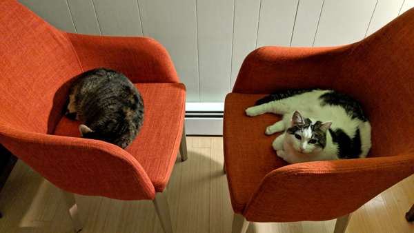 image of Sophie the Torbie Cat and Olivia the White Farm Cat each sitting in an orange arm chair