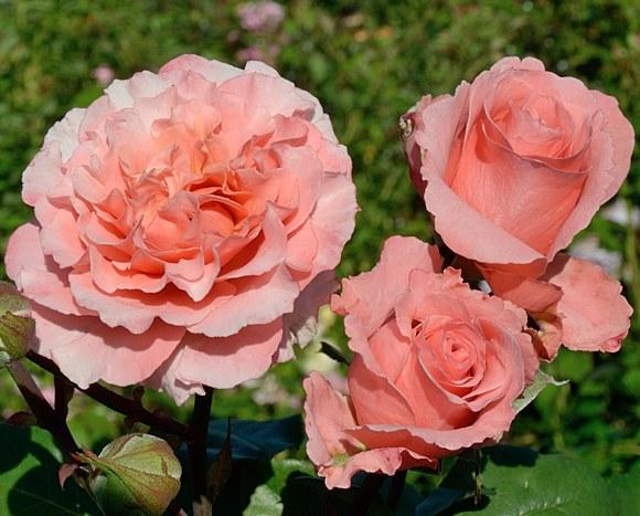 Anne Sophie Pic сорт розы Гийо фото