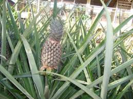 Pineapple Cultivation Method Good and True