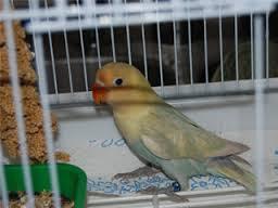 lovebird parblue pastel
