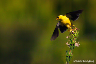 Cramer Imaging's professional quality nature animal photograph of a yellow goldfinch bird taking off to fly in Pocatello, Bannock, Idaho