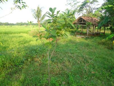 Mengenal Pohon Cempedak, Nangka Beurit, Nongko Cino