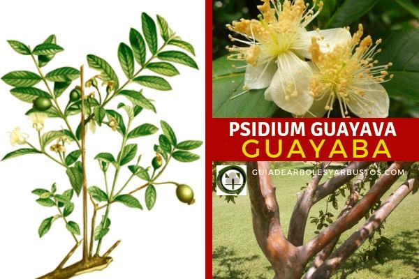 Psidium guayava, guayaba, es una árbol muy decorativo y  sirve de planta para interiores