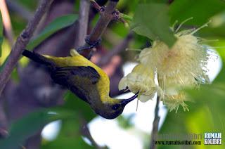 mekanan tebaik untuk burung kolibri