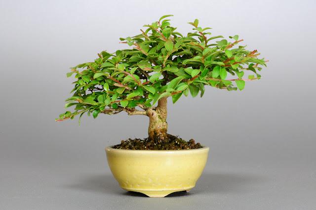 サルスベリ-P1(百日紅盆栽 )Lagerstroemia indica bonsai
