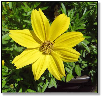 Bidens oder Zweizahn, eine beliebte Balkon- und Gartenblume