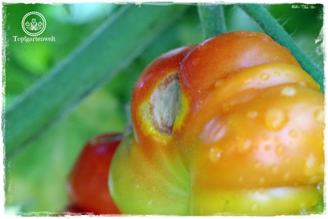 Blütenendfäule an Tomaten -  Kalziumblattdünger als schnelle Hilfe - Gartenblog Topfgartenwelt