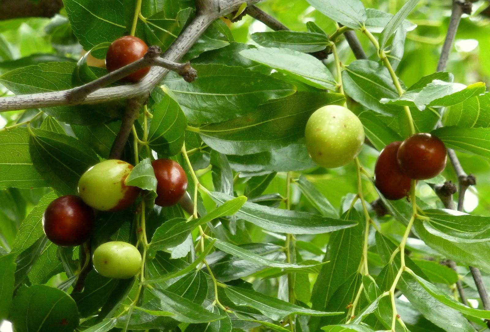 Imagenes Animadas De Arboles De Mango: Árboles Con Alma: Jinjolero. Azufaifo. Ginjoler. (Zizyphus