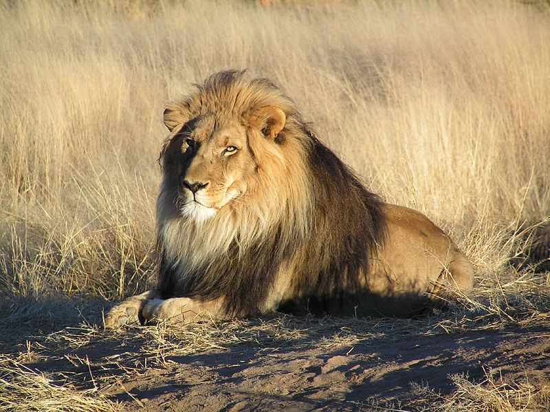Mammals Animals: Lion waiting in Namibia