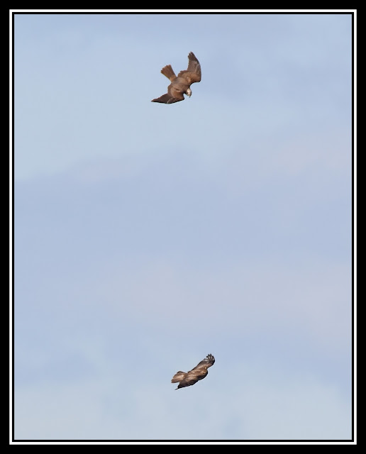 Marsh Harrier and Buzzard