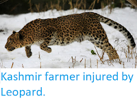https://sciencythoughts.blogspot.com/2019/03/kashmir-farmer-injured-by-leopard.html