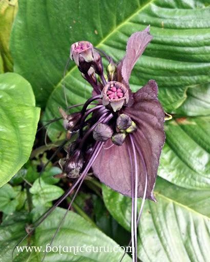 Tacca chantrieri, Bat Flower, Devil Flower
