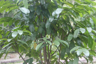 Manfaat dan Khasiat Tanaman Gaharu Jenis  Manfaat Tanaman Gaharu Jenis (Aquilaria filaria (Oken) Merr)