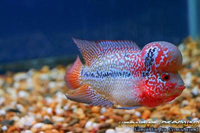 ภาพปลาหมอสี สวย ๆ ปลาหมอสี สวยๆ  ขนาด 3 นิ้ว กว่า ๆ แนว มุก ๆ แดง ๆ