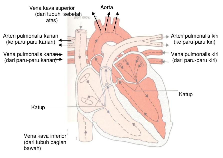 Jantung manusia dan penampangnya