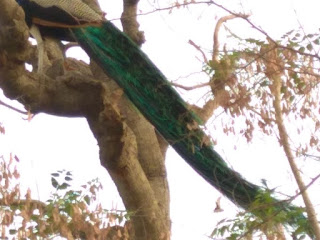 Peacock sitting on a tree at Sanganer dadabadi sanctuary