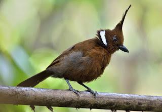 download suara kicau burung cililin gacor durasi panjang