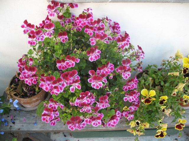 Ilfogolar fiori di montagna for Fiori gerani