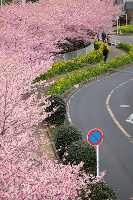 河津桜 三浦海岸 菜の花