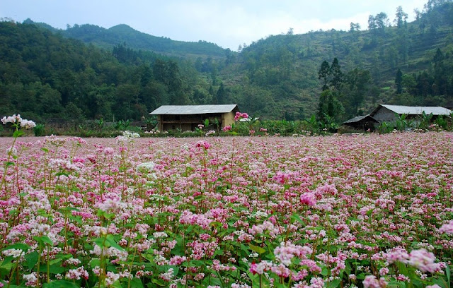 The Ideal Place To See The Buckwheat Flower in Ha Giang 1