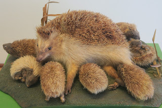 Mounted hedgehog family. Pisa Museum of Natural History
