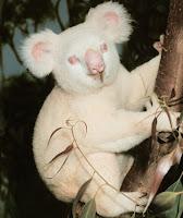 коала альбинизм