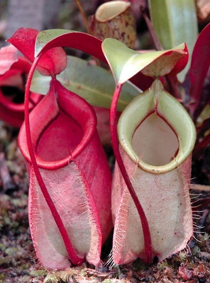 Flora Asiatis : flora, asiatis, Gambar, Jenis, Flora, Asiatis, Australis, Indonesia, Materi, Matoa, Image, Hargabenihmurah, Rebanas